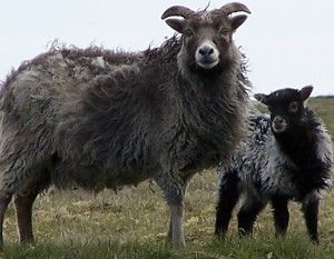 Sheep Label Picture